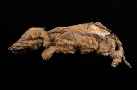 Zhúr, la loba que nació hace 57.000 años.