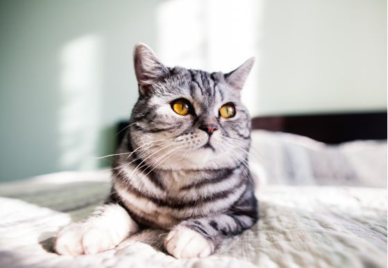 Los gatos y la trombocitopenia